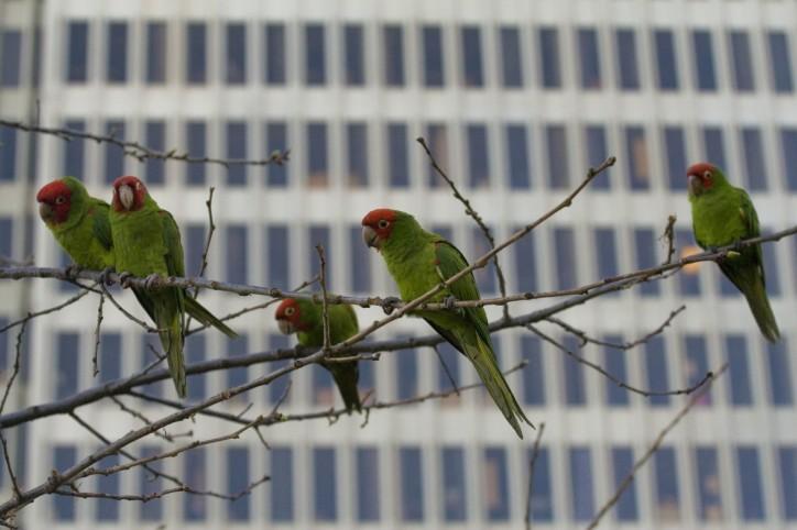 German-Parrot